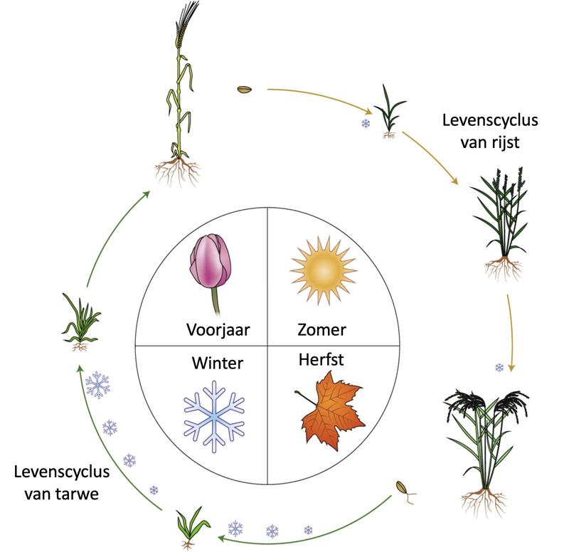 levenscyclus van granen