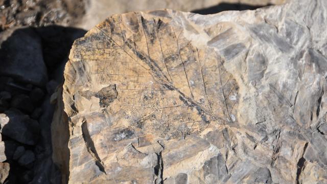 Een fossiel van een blad uit het warme eoceen in het Noordpoolgebied (Spitsbergen). (Foto: poolonderzoeker Marc Cornelissen)